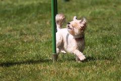 Kleine hond het werk behendigheid Royalty-vrije Stock Fotografie