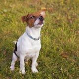 Kleine hond, Jack Russel Royalty-vrije Stock Foto