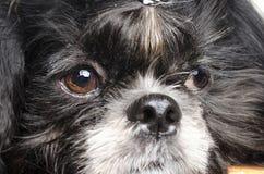 Kleine hond met droevige snuit stock afbeelding