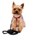 Kleine Hond met hond-Lood Royalty-vrije Stock Foto