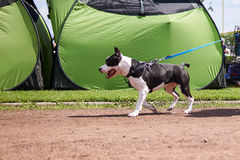 Kleine hond op de blauwe leiband Stock Foto's