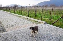 Kleine hond op de weg dichtbij wijngaard Royalty-vrije Stock Afbeeldingen