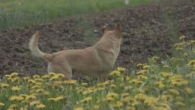 Kleine hond op het gras met gele bloemen stock video