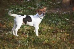 Kleine hond, in weide Stock Fotografie