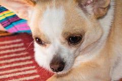 Kleine hondchihuahua royalty-vrije stock foto