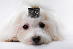 Kleine honden royalty-vrije stock fotografie