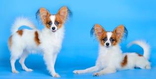 Kleine honden Royalty-vrije Stock Foto