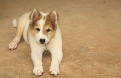 Kleine honden Royalty-vrije Stock Foto's