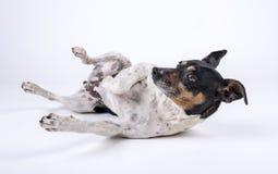 Kleine hondkruidenier met zwart hoofd die omhoog op witte grond liggen stock foto's
