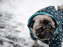 Kleine hondpug in jasje Mooie hond stock fotografie