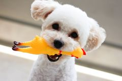 Kleine hondspelen met zijn stuk speelgoed stock afbeelding