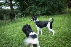 Kleine Hunde, die auf grünem Gras am sonnigen Tag spielen Stockfotografie