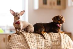 Kleine Hunde, die auf Sofa kühlen stockfotos