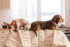 Kleine Hunde, die auf Sofa kühlen lizenzfreies stockfoto