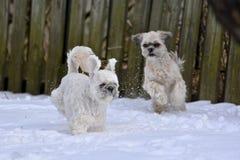 Kleine Hunde, die im Schnee spielen lizenzfreie stockbilder