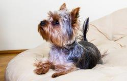 Kleine Hundelohnaufmerksamkeit auf seinem Eigentümer Lizenzfreie Stockbilder