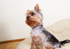 Kleine Hundelustig Lohnaufmerksamkeit auf seinem Eigentümer Stockfotografie