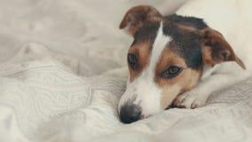 Kleine Hunderasse, die Jack Russell Terrier auf das Bett legt stock footage