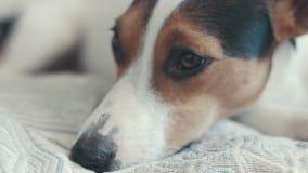 Kleine Hunderasse, die Jack Russell Terrier auf das Bett legt stock video footage