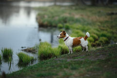 Kleine Hunderasse im Wasser lizenzfreie stockfotografie