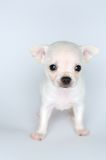 Kleine Hundewelpenchihuahua mit großen Augen von der Front Lizenzfreie Stockfotos