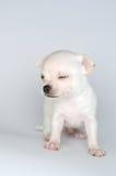 Kleine Hundewelpenchihuahua von der Front Stockbild