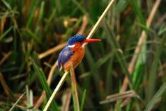 Kleine Ijsvogel Royalty-vrije Stock Afbeeldingen