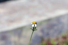 Kleine Insektenbienenstange auf Gänseblümchenblume Lizenzfreie Stockbilder