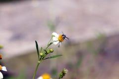 Kleine Insektenbienenstange auf Gänseblümchenblume Stockfotos