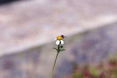 Kleine Insektenbienenstange auf Gänseblümchenblume Stockfotografie