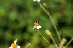 Kleine Insektenbienenstange auf Gänseblümchenblume Stockfoto