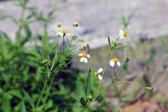 Kleine Insektenschmetterlingsstange auf Gänseblümchenblume Stockfotos