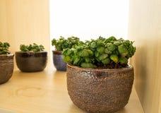 Kleine installaties binnen in kleine potten Stock Foto's