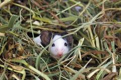 Kleine Maus, die im Heu sitzt Lizenzfreies Stockfoto