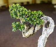 Kleine Japanse bonsaiboom met een leeftijd van 30 jaar, boom royalty-vrije stock afbeelding