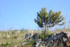 Kleine jong boompjepijnboom Royalty-vrije Stock Fotografie