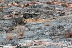 Kleine jonge bomen die in een barst tussen lagen van rood en grijs zandsteen op rots groeien Stock Foto