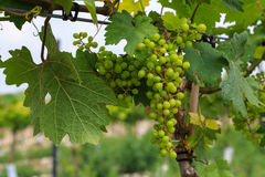 Kleine jonge druiven stock fotografie