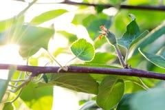 Kleine jonge eierstokappelen Het concept het tuinieren, DIY, fruitteelt zonder GMO, naturalness en nut stock foto