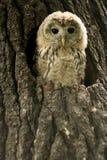 Kleine jonge uil in een nest stock afbeeldingen