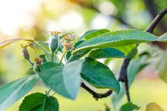 Kleine junge Eierstockäpfel Das Konzept der Gartenarbeit, des DIY, des Obstbaus ohne GMO, der Natürlichkeit und des Dienstprogram lizenzfreie stockfotografie