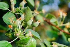 Kleine junge Eierstockäpfel Das Konzept der Gartenarbeit, des DIY, des Obstbaus ohne GMO, der Natürlichkeit und des Dienstprogram lizenzfreies stockbild