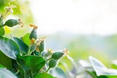 Kleine junge Eierstockäpfel Das Konzept der Gartenarbeit, des DIY, des Obstbaus ohne GMO, der Natürlichkeit und des Dienstprogram stockbild