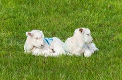 Kleine junge Lammzwillinge liegen auf dem grünen Gras Lizenzfreie Stockbilder