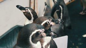 Kleine junge Pinguine gehen entlang einen Korridor im Zoo Weg vieler Pinguine lustig stock video