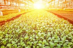 Kleine Jungpflanzen des Kohls in der Gewächshausplantage auf sunse Lizenzfreies Stockbild