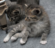 Kleine Kätzchen der getigerten Katze Stockfotos