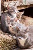 Kleine Kätzchen mit Mutter in Toskana Lizenzfreie Stockbilder