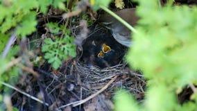 Kleine Küken im Nest stock video footage