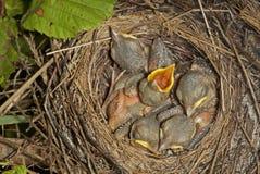 Kleine Küken im Nest Lizenzfreies Stockbild